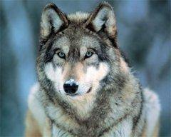 Hanh_Wolf