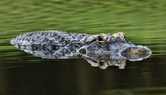 Crocodile68